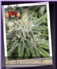 Sin City Frozen Tangerines Fem 7 Cannabis Seeds